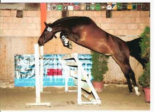 Les chevaux - Frison qui saute ...