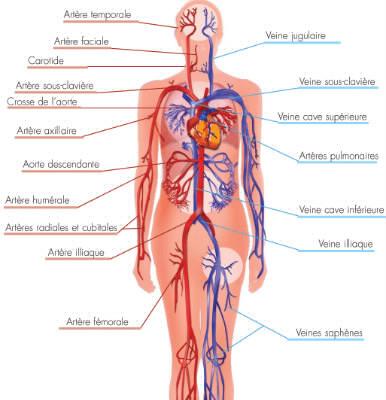 Le corps humain quiz sant anatomie for A l interieur du corps humain