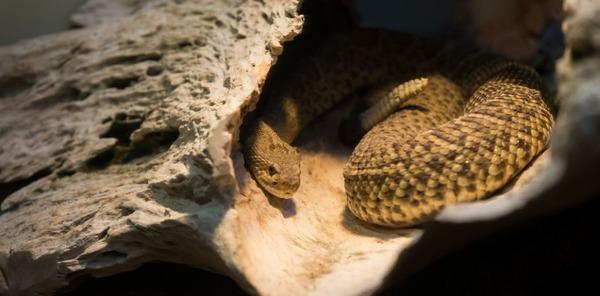 Quel est le plus lourd serpent du monde ?