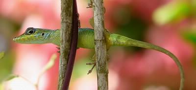 Comment s'appelle ce petit lézard que l'on croise souvent en Martinique ?