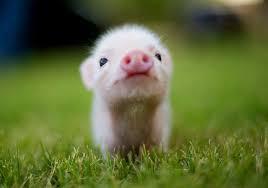 Comment s'appelle le cochon de Furious_Jumper ?