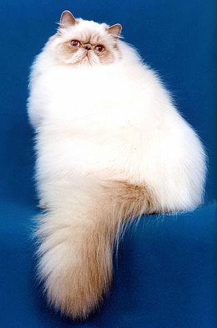 Le chat Persan a quelle origine ?