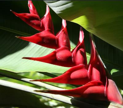 Quelle est cette fleur courante en Martinique ?