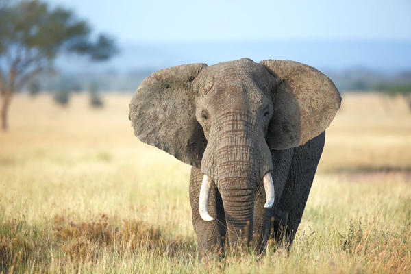 How large is an Elephant average Brain?