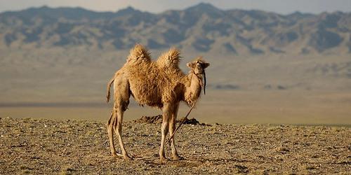 Quel bruit fait le chameau ?