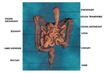 Quel organe peut atteindre 6 mètres de long en moyenne dans notre corps ?