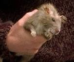 A quel Weasley appartient le rat Croutard ?