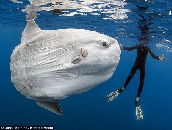 Ce poisson est énorme, c'est un ...