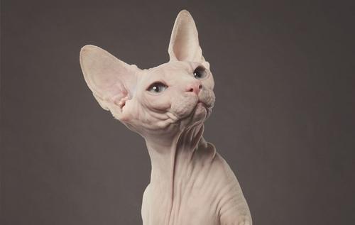 Comment appelle-t-on les chats sans poils ?