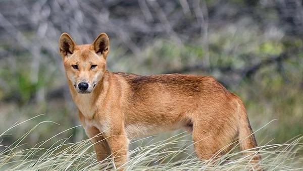 Cet animal de la famille des canidés vivant en Australie est un ?