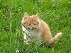 Les chats sont-ils herbivores ?