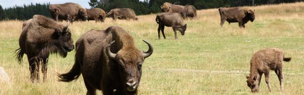Pourquoi les Bisons ?