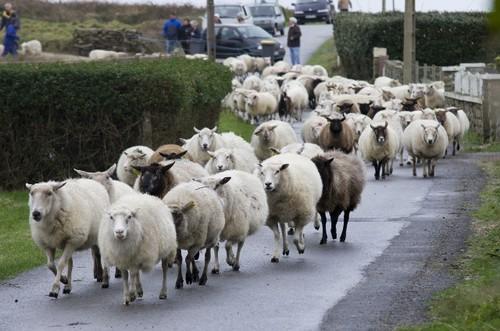 Chaque année se tient une grande foire aux moutons à Ouessant.