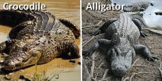 Quelle est la différence principale entre l'alligator et le crocodile ?