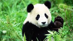 Où vit le panda ?