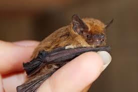 Qu'est-ce qu'une pipistrelle?