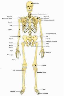 Environ combien d'os possédons-nous dans notre corps humain ?