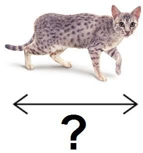 Quelle est la taille adulte d'un chat ?