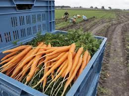 La carotte de sable bretonne produite à Santec, près de Roscoff, doit sa saveur et son éclat particulier :