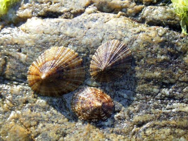 Sur les rivages bretons on ramasse des berniques. Quel est le nom plus générique de ces mollusques ?