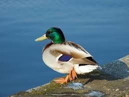 """Comment dit-on """"canard"""" en espagnol ?"""