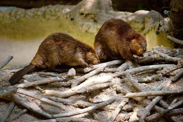 Quel nom porte l'habitat du castor?