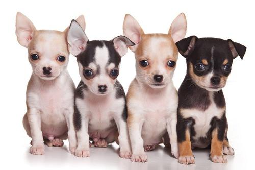 Ces chiens sont-ils les plus petits du monde ?