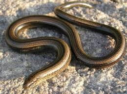 Ceci est un serpent.