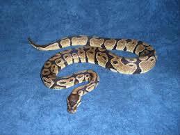Quelle taille peut avoir un python royal mâle ?