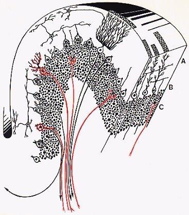 Le cortex cérébelleux est formé de 3 couches qui sont homogènes et identiques, de la plus externe à la plus interne, quelles sont-elles ?