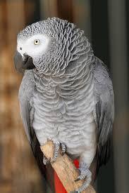 Le perroquet Gris du Gabon est surnommé :