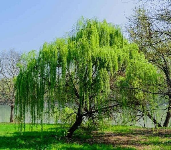 Si vous avez le rhume des foins, lequel de ces arbres éviterez-vous de planter ?