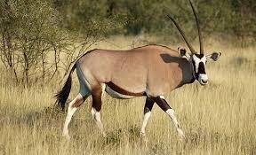 Quel animal est proche de l'oryx?