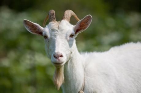 Quelle est le mâle de la chèvre ?