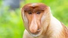 Quel long nez ...ce singe est un ...