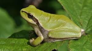 "Comment dit-on ""grenouille"" en espagnol ?"