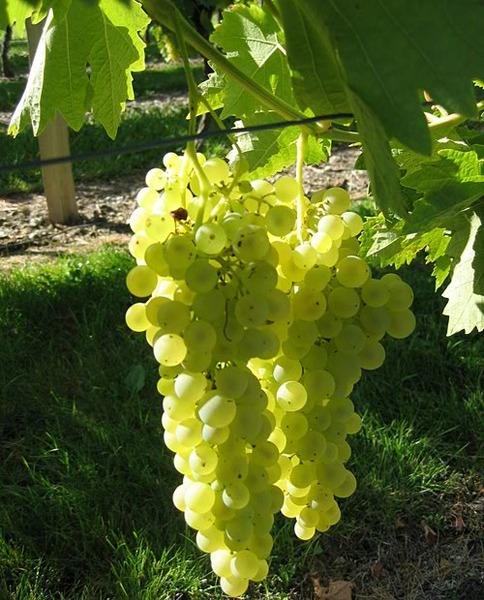 Il est cultivé dans la zone méditerranéenne, donnant la trame des vins de table blancs, en assemblage avec un vin plus aromatique.