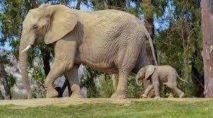 Les éléphants peuvent entendre avec la plante de leurs pieds.