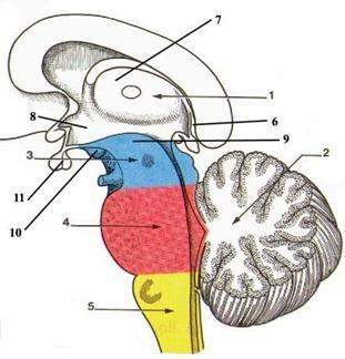 Le tronc cérébral contient 3 parties, quelles sont-elles ?