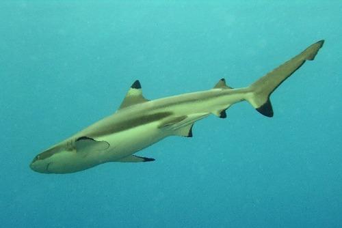 Requin - Requin enclume ...