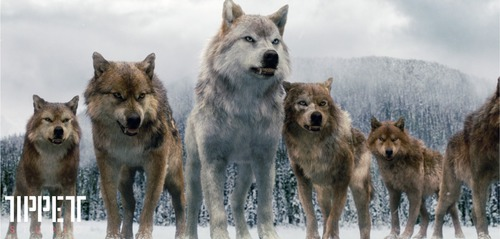 De quelle couleur est la fourrure de Jacob en loup ?