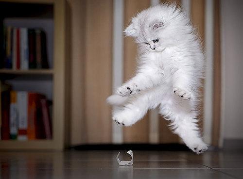Combien y a-t-il de races de chat dans le monde ?