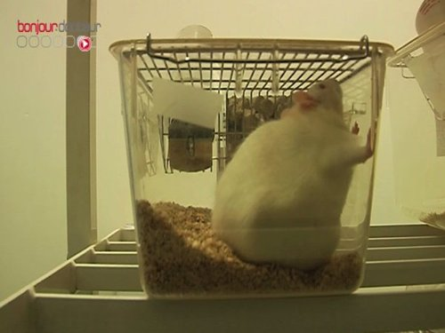 Début 2013, des chercheurs de Harvard ont réussi à faire rapidement perdre 20% de leur poids à des souris obèses :