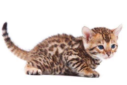Combien de pattes ont les chats ?