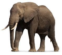 Pourquoi l'éléphant est en voie de disparition ?