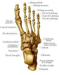 Combien y a-t-il d'os dans le pied ?