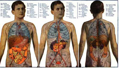 Combien d'organes possédons-nous en tout dans notre corps ?