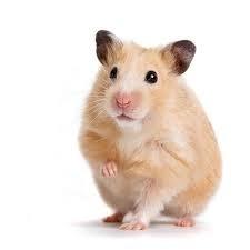 """Comment dit-on """"hamster"""" en espagnol ?"""