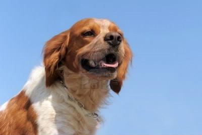 Quelle est la bonne description des oreilles de l'épagneul breton ?