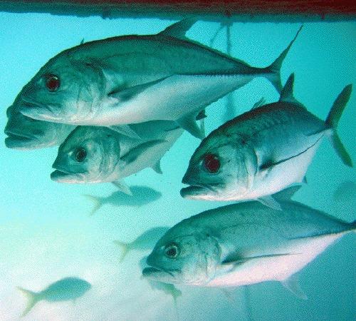 Quel est le plus gros poisson du monde ?